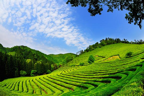 Cánh đồng trà Boseong