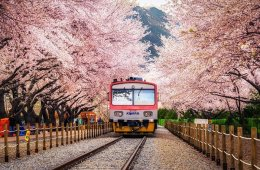 Hoa đào nở rộ đón chào mùa xuân