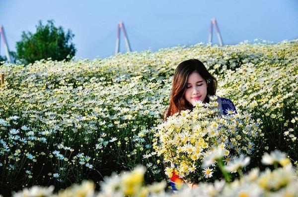 Vườn hoa cúc Họa Mi