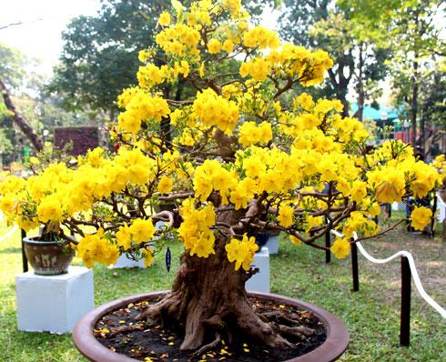 Cách chăm sóc Mai vàng ra hoa đúng tết