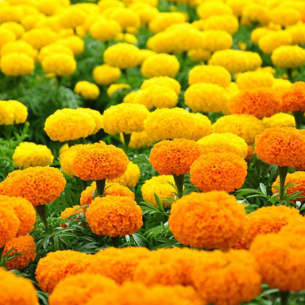 Cách trồng hoa vạn thọ tết