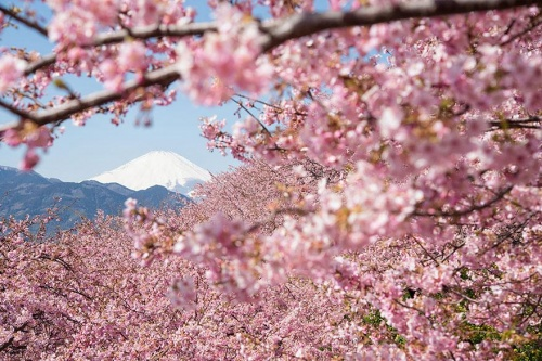 vườn hoa anh đào