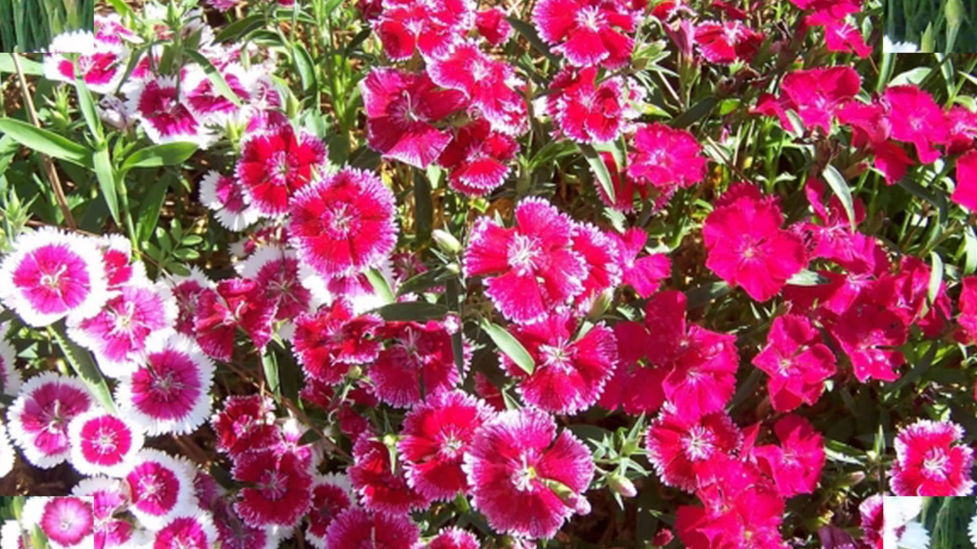 Cánh đồng Hoa Cẩm Chướng