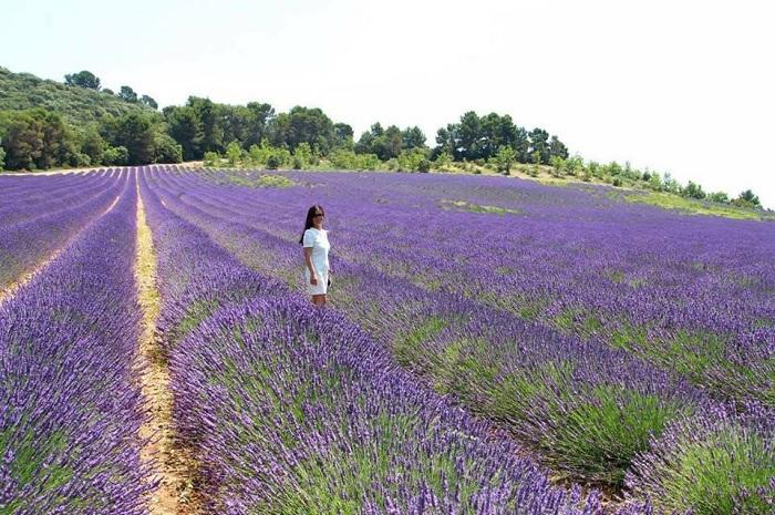 Những cánh đồng hoa Lavender